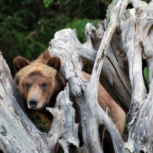 Knight Inlet Lodge | Grizzly Bears, Campbell River, British Columbia